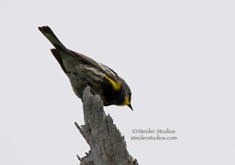 Steider Studios.Yellow-rumped 'Audubon's' Warbler