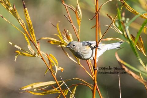 Steider Studios.Yellow Warbler.Bingen Pond.9.28.14
