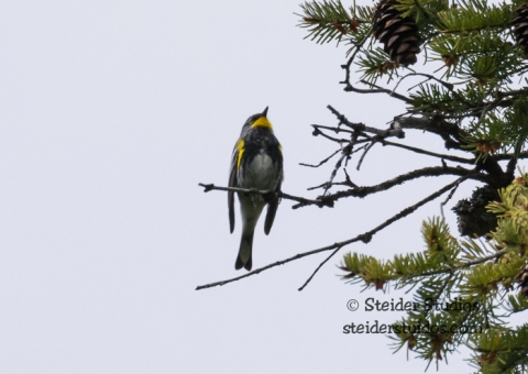 Steider Studios.Warbler.Yellow Throat.Trout Lake Bird Walk.5.17.15