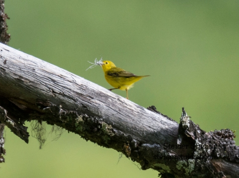 Steider Studios.Yellow Warbler.Trout Lake Bird Walk.5.17.15