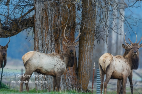 Steider Studios.Elk at Conboy Lake NWR