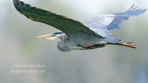 Steider Studios.Heron in Flight.Ridgefield.5.11.15