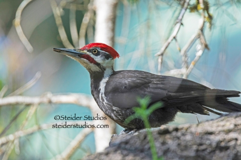 Steider Studios.Pileated Woodpecker.Home.5.3.15