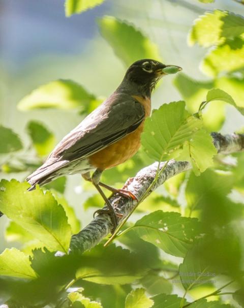 SteiderStudios.American Robin.7.5.15