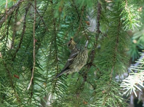 SteiderStudios.Yellow rumped warbler juvenile.7.5.15-2