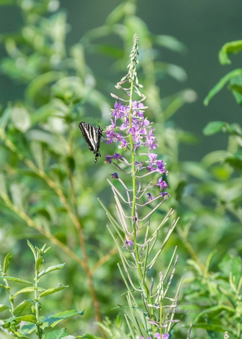 SteiderStudios.Swallowtail on Fireweed.7.5.15-4