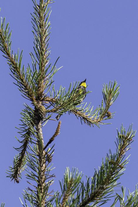 SteiderStudios.Yellow rumped Warbler.7.5.15-5