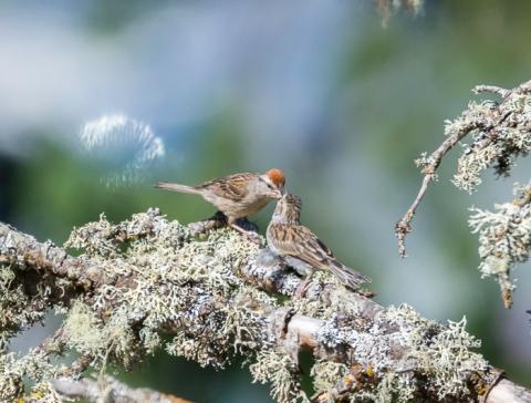 Steider Studios.American Tree Sparrow