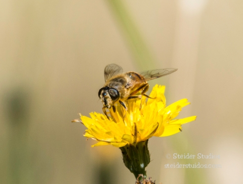 Steider Studios.Bee on Dandelion.7.28.15