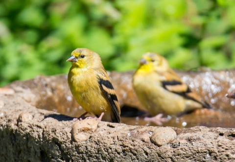 Steider Studios.Goldfinch Babes in Bath