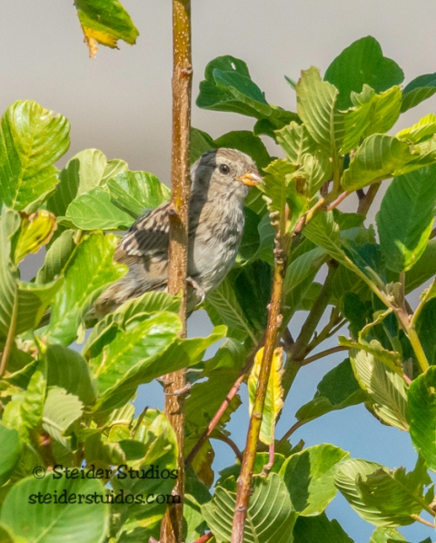 Steider Studios.BirdWalk.White-crowned Sparrow.8.9.15-11