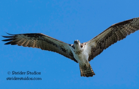 Steider Studios.BirdWalk.Osprey Hunting.8.9.15-14