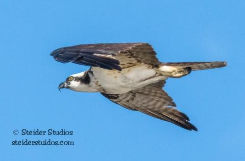 Steider Studios.Osprey.BirdWalk.8.9.15-2