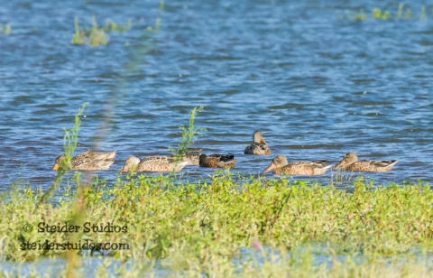 Steider Studios.BirdWalk. Northern Shovelers.8.9.15-4
