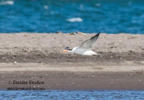 Steider Studios.BirdWalk.Caspian Tern.8.9.15-7