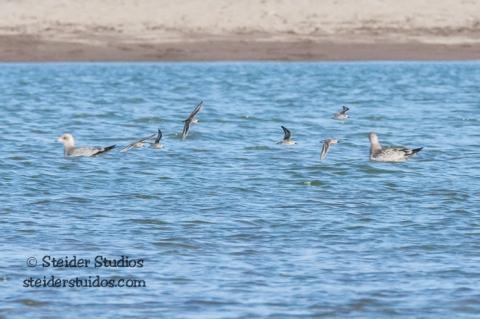 Steider Studios.BirdWalk.Sandpipers.8.9.15-8