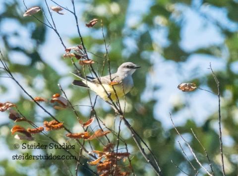 Steider Studios.BirdWalk.Western Kingbird.8.9.15-9