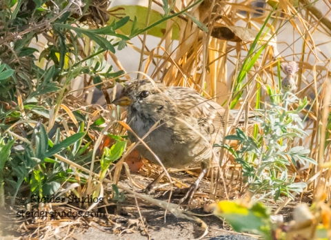 Steider Studios.BirdWalk.White-crowned Sparrow.8.9.15