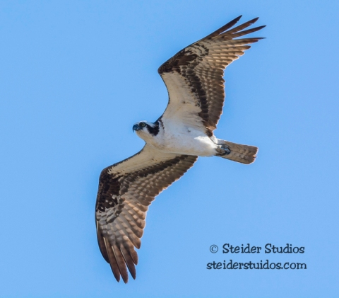 Steider Studios.Osprey in Flight.9.13.15