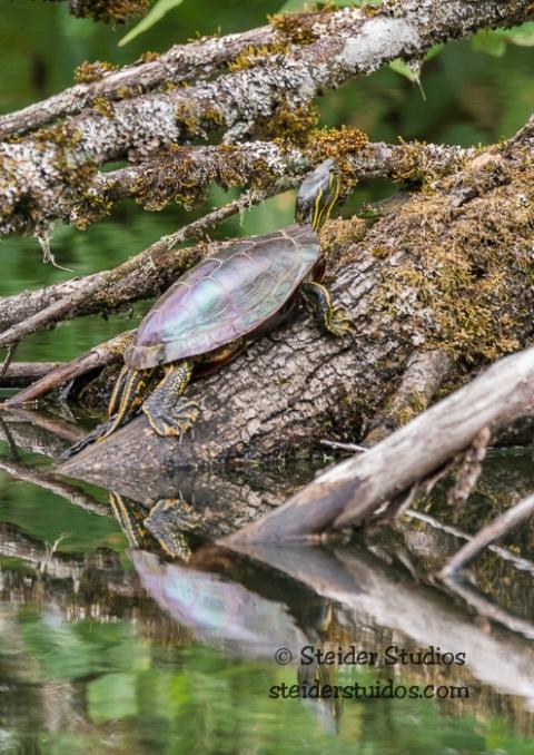 Steider Studios.Ridgefield Frog with Turtle.9.3.15