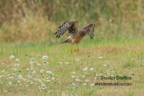 Steider Studios.Ridgefield Northern Harrier.9.3.15