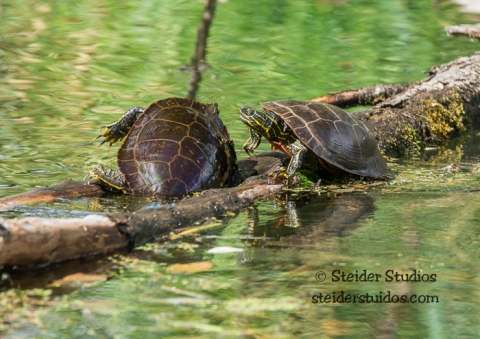 Steider Studios.Ridgefield Turtle Fight.9.3.15