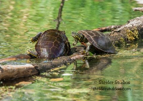 Steider Studios.Ridgefield Turtle Fight.9.3.15