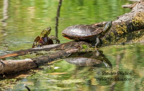 Steider Studios.Turtle.Pair.Ridgefield.9.3.15