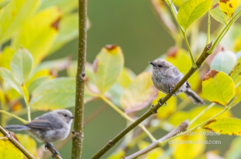 Steider Studios.Bird Banding.10.9.15-10