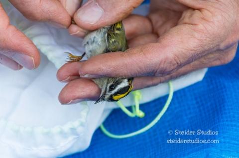 Steider Studios.Bird Banding.10.9.15-7