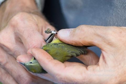Steider Studios.Bird Banding.10.9.15-8