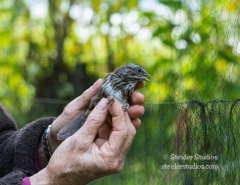 Steider Studios.Bird Banding.10.9.15