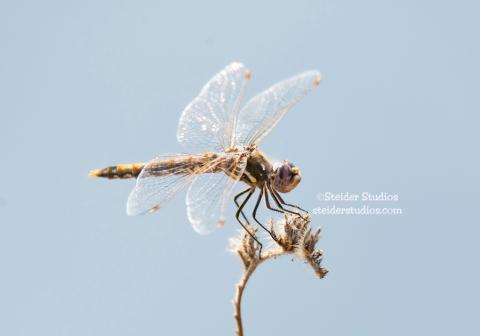 Steider Studios.Dragonfly.8.26.15