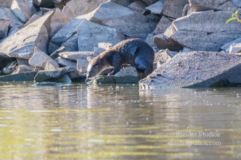 Steider Studios.Otter Family at Play.9.28.15-4