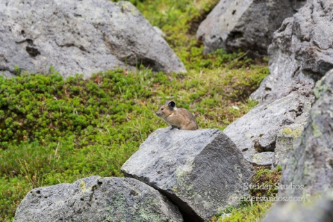 Steider Studios.Pika from Hike.7.25.15