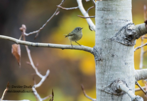 Steider Studios.Ruby-crowned Kinglet.11.18.15