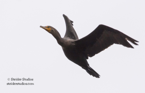 Steider Studios.Cormorant in Flight.11.18.15