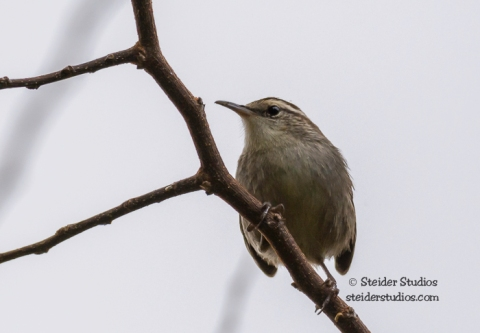 Steider Studios.Bewick's Wren near the Deschutes River