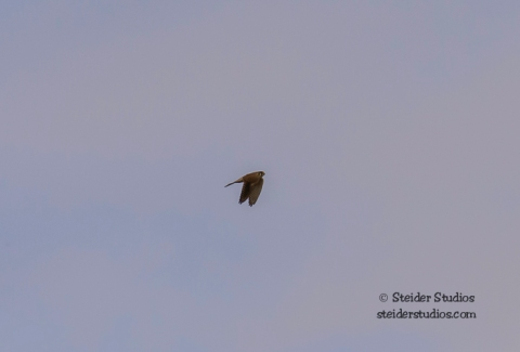 Steider Studios.American Kestrel in flight.