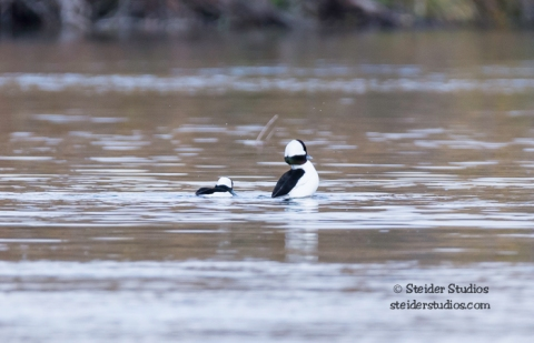 Steider Studios.Bufflehead on the Deschutes