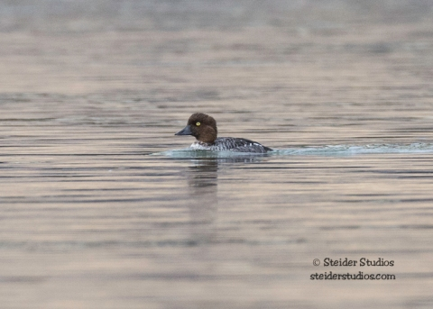 Steider Studios.Barrow's Goldeneye on the Deschutes