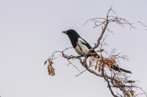 Steider Studios.Magpie at Heritage Boat Landing on the Deschutes River