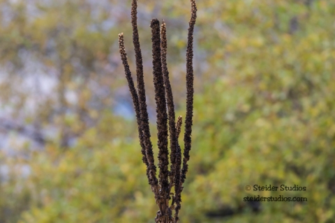Steider Studios.Mullein Stalk at the Deschutes River