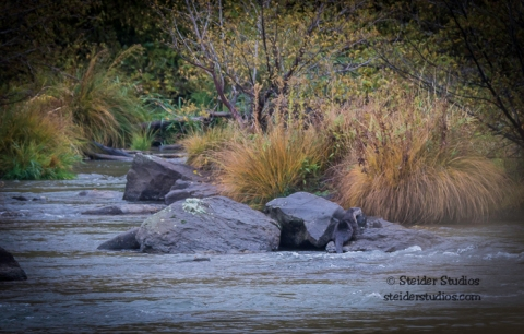 Steider Studios.Otters playing in the Deschutes River