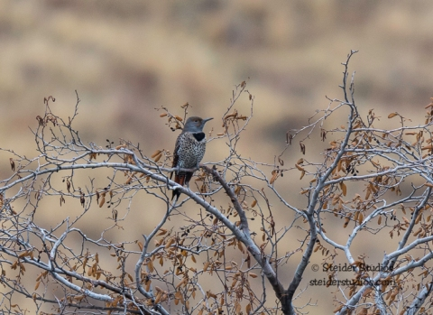 Steider Studios.Northern Flicker near the Deschutes River