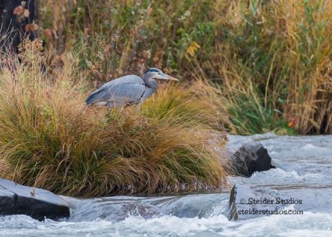Steider Studios.Great Blue Heron on Deschutes River