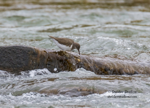 Steider Studios.Spotted Sandpiper on the Deshutes River
