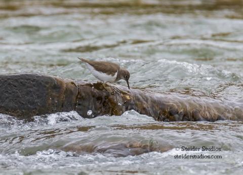 Steider Studios.Spotted Sandpiper on the Deshutes River