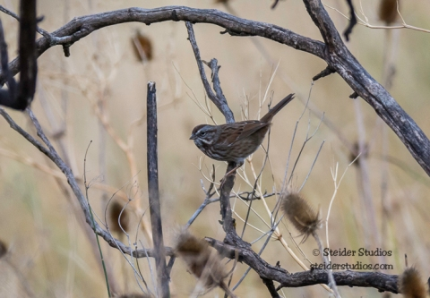 Steider Studios.Song Sparrow