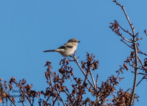 Steider Studios.Northern Shrike.11.21.15